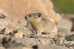 American Pika hanging out