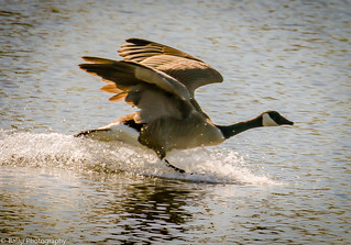 Canadian Goose - Take off (Explored)