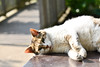 Cat in Enoshima(江の島の猫) (daigo harada(原田 大吾)) Tags: enoshima view landscape animal
