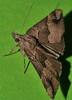 Wooly Rhino horn moth Hypena sp aff gonospilalis Hypeninae Erebidae Airlie Beach rainforest P1360050 (Steve & Alison1) Tags: wooly rhino horn bat man moth hypena sp aff gonospilalis hypeninae erebidae airlie beach rainforest