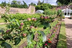 Glendoune House (23 of 30) (stoneleighboy) Tags: southayrshire fruitandveg spring seasons summer typesofgarden walled border apple tree geraniums fruittree