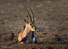 pick on someone your own size (KevinBJensen) Tags: animals antelope gazelle bird myna zoo