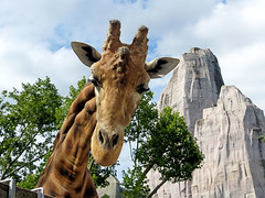 Benny (Raymonde Contensous) Tags: parczoologiquedeparis zoodevincennes girafes animaux nature
