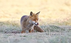 Countryside Fox (Alan McCluskie) Tags: fox redfox ruralfox countryside meadow fields grass mammal sigma150600mmsp canon7dmk2 ukwildlife