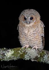 Tawny Owl Owlet (Nigel Hodson) Tags: canon 600mmf4ii 1dxmkii tawny tawnyowl owl owlet wildlife wildlifephotography nature naturephotography birds birdphotography bird birdofprey