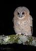 Tawny Owl Owlet (oddie25) Tags: canon 600mmf4ii 1dxmkii tawny tawnyowl owl owlet wildlife wildlifephotography nature naturephotography birds birdphotography bird birdofprey