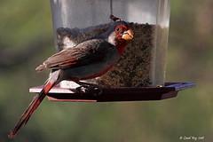 1.30061 Cardinal pyrrhuloxia / Cardinalis sinuatus fulvescens / Pyrrhuloxia (Laval Roy) Tags: aves oiseaux birds lavalroy cardinalpyrrhuloxia cardinalissinuatusfulvescens pyrrhuloxia cardinalidés passeriformes arizona usa