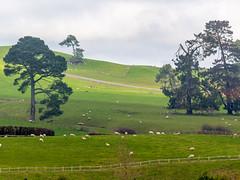Heaps of Sheeps (Robert Borden) Tags: sheep farm hills rolling matamata hobbiton newzealand nz canon canonrebel canont5 canonphotography green