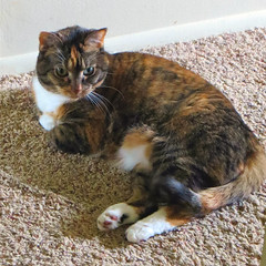 Gracie 19 May 2018 9422Ri sq (edgarandron - Busy!) Tags: cat cats kitty kitties tabby tabbies cute feline gracie patchedtabby