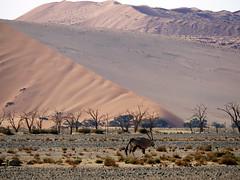 Oyx in the Namib desert (Nevrimski) Tags: oryx namib desert sossusvlei namibia sand dune