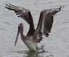 brown pelican (Pelecanus occidentalis) (im2fast4u2c) Tags: brown pelican pelecanus occidentalis pelecanidae