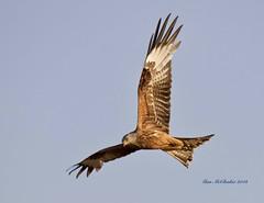 Red Kite (Alan McCluskie) Tags: redkite milvusmilvus birdofprey raptor birds wings feathers birdinflight bif bop ukbirds wildlife barburycastle canon7dmk2 sigma150600mmsp