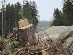 Harz_e-m10_1015184434-1 (Torben*) Tags: sigma60mmf28dn olympusomdem10 rawtherapee harz schierke baumstump treestump rock felsen