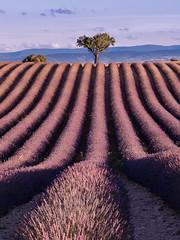 The Parallel Universe (v-_-v) Tags: valensole provencealpescôtedazur frankreich fr provence france lavender summer tree purple travel europe mountains sky parallel goldenhour