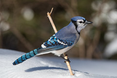Winter Blue Jay (NicoleW0000) Tags: bird jay bluejay snow winter nature outdoors ontario canada abigfave