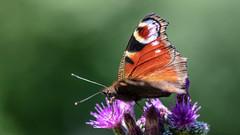 Pfauenauge (dominikressing) Tags: zastlerhalde tier ort pfauenauge schmetterling insekt schwarzwald oberried badenwürttemberg deutschland de