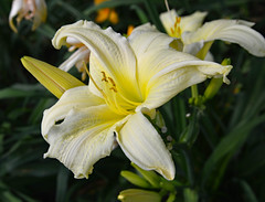 Out of the Darkness (BKHagar *Kim*) Tags: bkhagar flower flowers lily lilies yard garden outdoor nature bloom blossom tanner al alabama