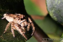 JumpingSpiderII (Alexandre J. Bühler) Tags: jumpingspider ragnosaltatore ajbühler brazilianspiders aranhapapamoscas