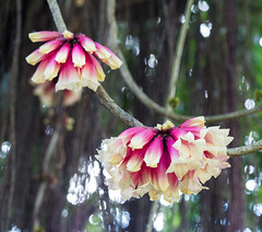 Flower on a vine (Marcia H) Tags: 2017 australia cairns cairnsbotanicgardens flower vine