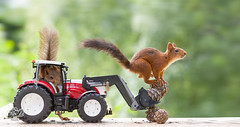red squirrels with a tractor and pinecones (Geert Weggen) Tags: agriculture animal closeup colorimage cultivated cute dirt environment environmentaldamage environmentalissues food harvesting healthyeating horizontal humor lifestyles mammal nature newlife nopeople organic outdoors photography planetspace planetearth plant pollution red rodent seed socialissues springtime squirrel summer tractor cutout yellow farm new machinery agriculturalequipment heavy wheel agriculturalmachinery agriculturaloccupation vehicle transportation pinecone bispgården jämtland sweden geert weggen ragunda