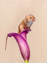 Harvest Mouse on Cala Lilly 2 (Chris Willis 10) Tags: harvestmice rodent animal small cute fluffy nature mouse mammal pets closeup wildlife brown hamster oneanimal fur whisker looking macro sunflower callilly