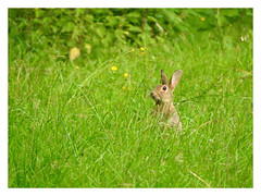 Oryctolagus cuniculus (Vulpe Photographie) Tags: lapin garenne champ mammifère animal wildlife wildlifephoto wildlifephotography coolpix nikon p900 oryctolagus france normandie normandy eure