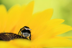Buzzy :-) (eleni m) Tags: bee insect outdoor yellow helianthus flower plant pot small height30cm 'sunsation sunflower backyard nature petals blackheart macro