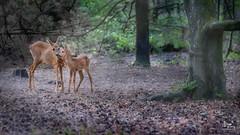Motherlove (dejongbram) Tags: deer roedeer capreoluscapreolus nature forest animal wildlife veluwe mother ree tree love