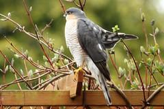 Sparrowhawk Accipitder nisus (Diane Stobart) Tags: sparrowhawk accipiternisus