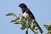 Eastern TowheeA53F1456 (~ Michaela Sagatova ~) Tags: dundasvalley birdphotography canonphotography easterntowhee michaelasagatova