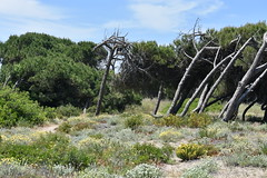 Moldeados por el viento (esta_ahi) Tags: deltadelllobregat gavà lesmalloles flora costera dunas tronc tronco pi pino pinus baixllobregat barcelona spain españa испания costa marítima arenalescosteros