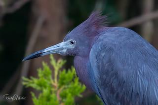 Little Blue Heron - Egretta caerulea | 2018 - 4