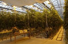 Visita a un invernadero de tomates Islandia 05 (Rafael Gomez - http://micamara.es) Tags: visita un invernadero de tomates islandia iceland