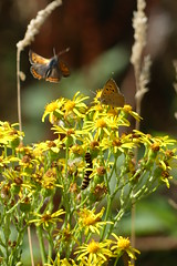 Summer (ocelotcreative) Tags: smallcopper cinnabarmothcaterpillar ragwort summer wildlife ukwildlife londonwildlife