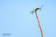 Hold on (Gaby Swanson, Photographer) Tags: nature dragonfly insect insects macro closeup animal outdoors