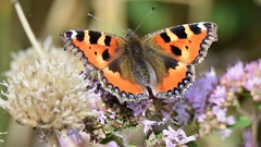 Small Tortoiseshell (doranstacey) Tags: nature wildlife insects butterflies butterfly small tortoiseshell rspb oldmoor reserve macro macrophotography tamron 150600mm nikon d5300 flowers summer