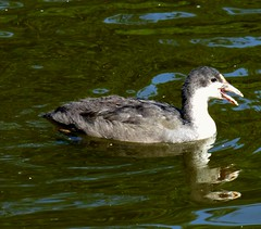 Youngster (ste dee) Tags: youngcoot waterfowl waterreflection lake nature outdoors panasonic fz72