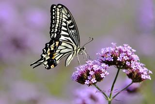 Papilio xuthus Linnaeus, 1767 (Asian Swallowtail)_AGL3283