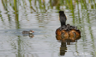 eared grebe and chicks