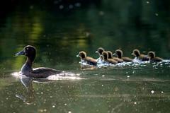 baby duck (Nicola G. Fotografie) Tags: aythyafuligula reiherente ente duck tuftedduck babys nature river lippe