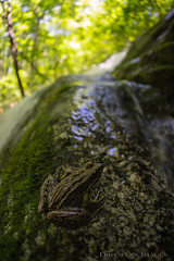 Taking a Leap of Faith (Dirtman's Images) Tags: bokeh moss landscape f28 fisheye nationalforest creek crabtree virginia amphibian rokinon pickerel wilderness sphagnum eos6dmarkii usa nature ettr frog pickerelfrog blueridgemountains appalachian trees tyeriver priestwilderness crabtreefalls waterfall tree rock scenic trail canon nelson slippery mountain nelsoncounty 12mm