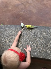 "Dani Feed Parakeets • <a style=""font-size:0.8em;"" href=""http://www.flickr.com/photos/109120354@N07/42643932705/"" target=""_blank"">View on Flickr</a>"