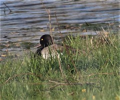 Lesser Scaupp (Aythya affinis) 05-03-2018 Old Morgantown Road pond, Garrett Co. MD 4 (Birder20714) Tags: birds maryland ducks waterfowl anatidae aythya affinis
