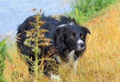Blade on the banks of the River Tone (badger2028) Tags: border collie working sheepdog