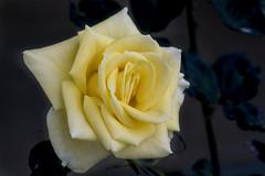 Rosa amarilla  (Explore Jul-15-2018) (José M. Arboleda) Tags: rosa flor planta amarillo popayán eos markiv macro josémarboledac ef100mmf28usm canon colombia 5d