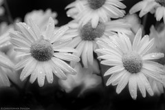 Day Begins (christopherdeacon) Tags: morning summer bw blackandwhite daisy flower garden meyeroptik meyeroptiktrioplan meyeroptiktrioplan100mm fujifilmxt1 dof shallowdof