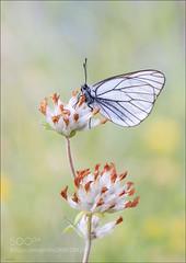 Black-veined white / Aporia crataegi (KevinBJensen) Tags: butterfly insect wildlife animals blackveined white baumweissling lepidoptera schmetterlinge aporia crataegi
