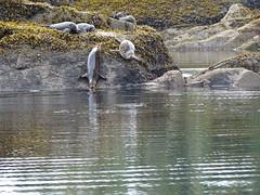 DSC02525 (jrucker94) Tags: ketchikan alaska coastalwildlifesearch excursion cruise port nature seal seals colony ocean