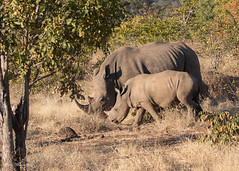 White Rhinoceros with baby (sbuckinghamnj) Tags: rhino rhinoceros whiterhinoceros zambia africa safari mosioatunyanationalpark