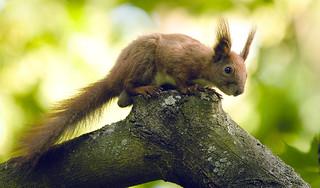 Mr Red squirrel